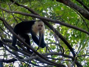 Monkey - CR